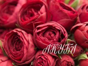 Роза кустовая Рэд Лэйс
