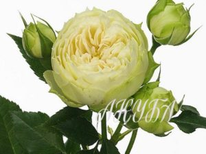 Rosa-blanchette