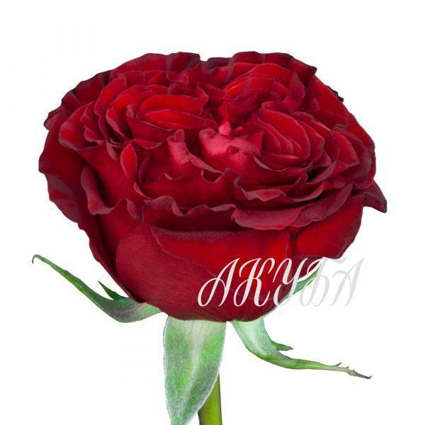 Роза садовая Red Elegance парфюмированная 2