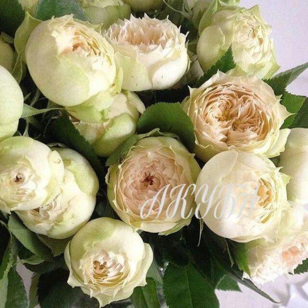 Роза кустовая Бланшетт