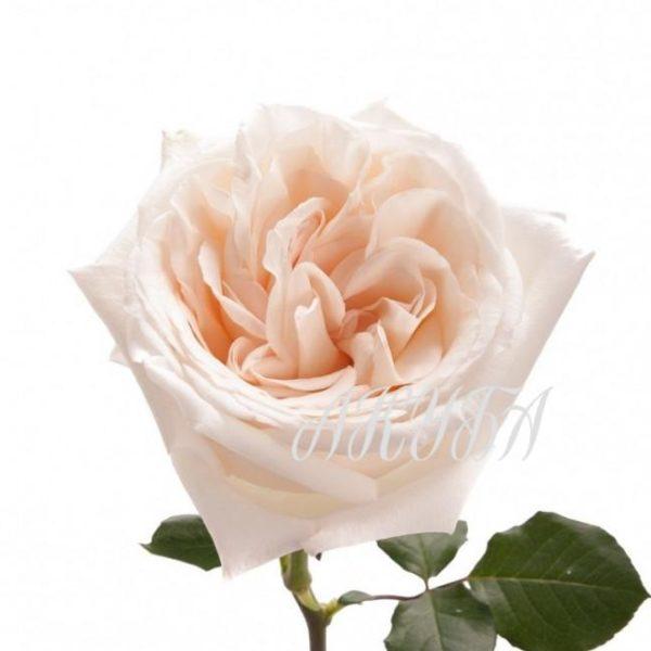 garden-rose-white-ohara
