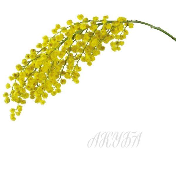 mimoza1
