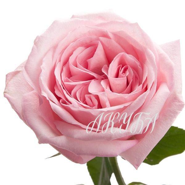 pink-o-hara2