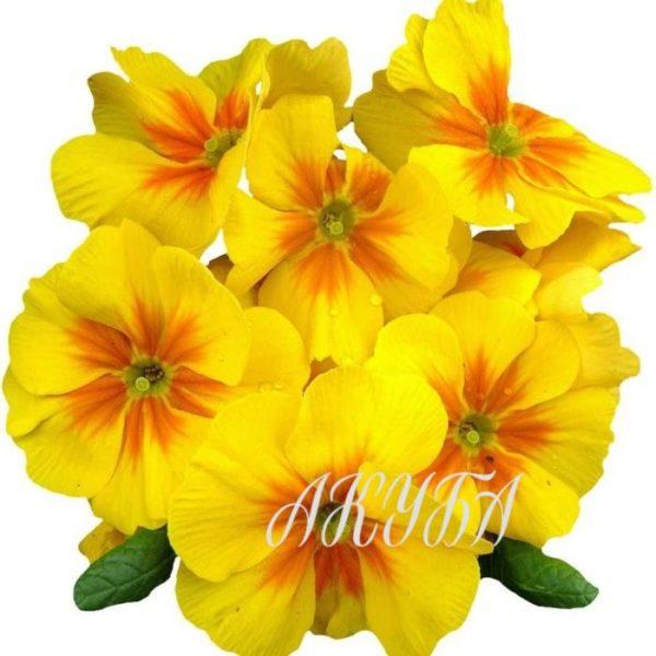 Примулы желтые