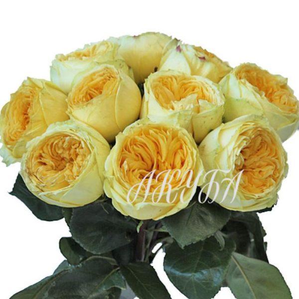 Роза садовая Каталина парфюмированная