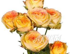 Роза кустовая Sanmaster Light