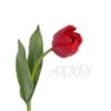 ярко красный тюльпан
