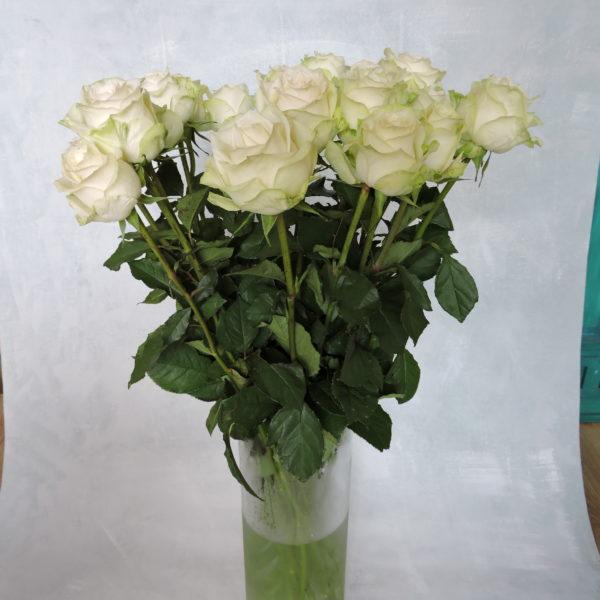 Роза белая Кения 4