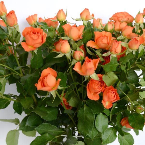 6.5 Роза кус Бэйби — копия