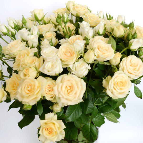6,5 Роза куст Крем Сенссэйшн