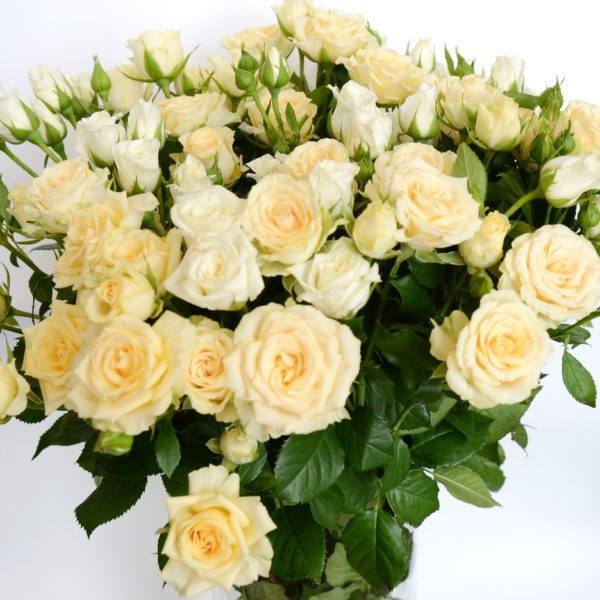 6,5 Роза куст Крем Сенссэйшн — копия