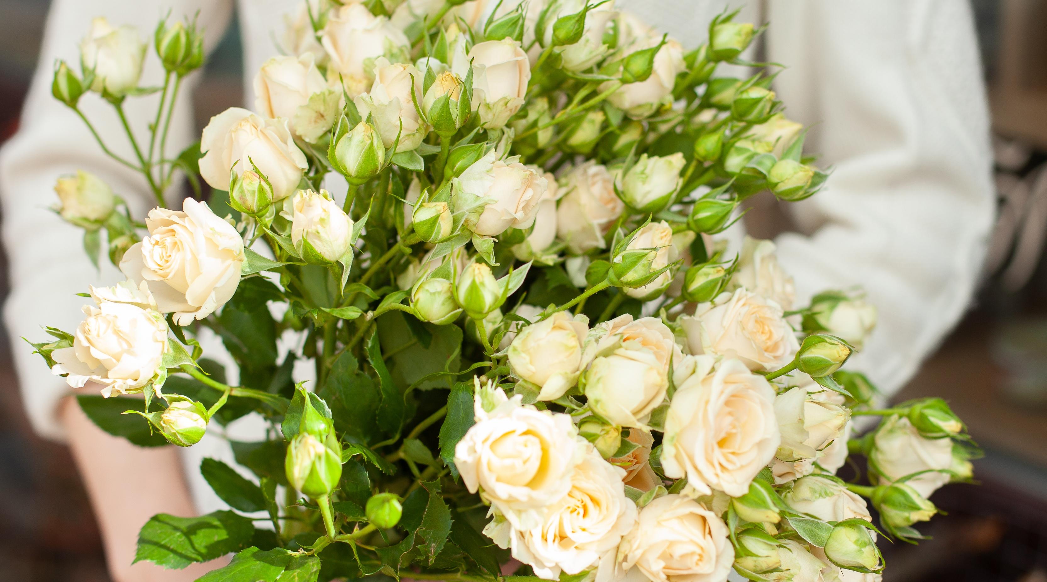 роза куст Крем Грация 7,00