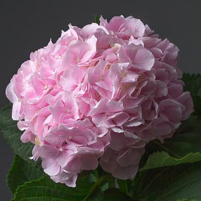 gortenziya-rozovaya–99-405×405