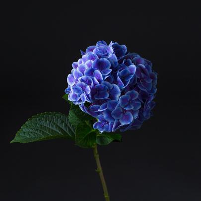 gortenziya-sinyaya-2-405×405