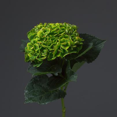 gortenziya-zelenaya-405×405
