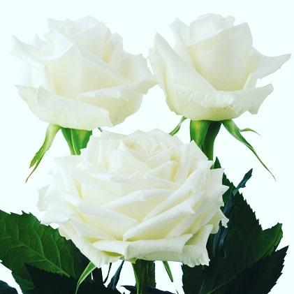Icebreaker-–-Standard-roses-1