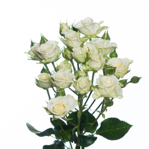 кустовая-роза-сноуфлейкс