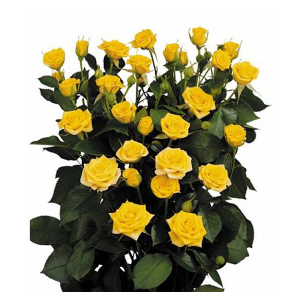 купить кустовые розы еллоу бейби (ye