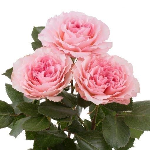 mayra-pink-3-510×510