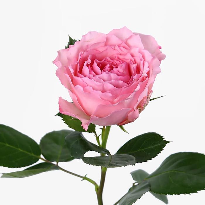 mayra-rose_-0x700